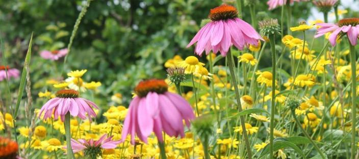 Pink coneflowers and yellow daisies
