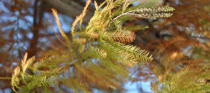 Dawn Redwood foliage